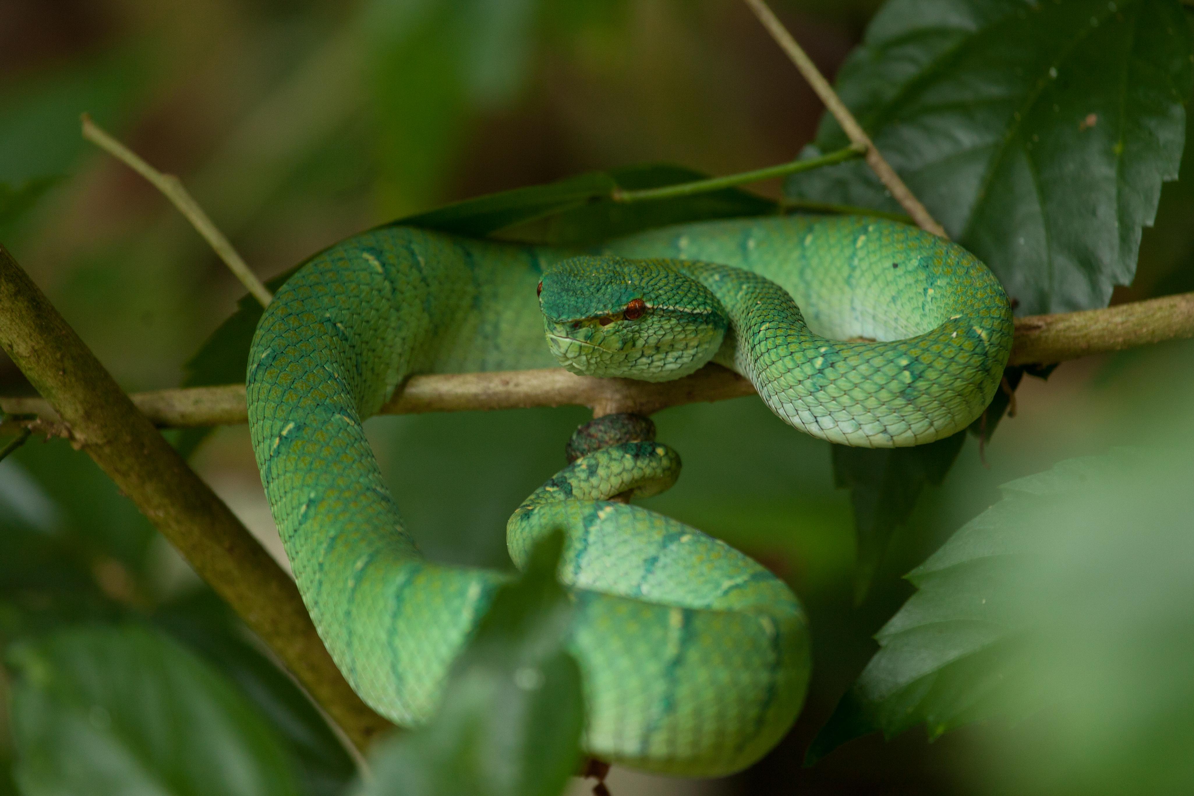 bornean keeled viper