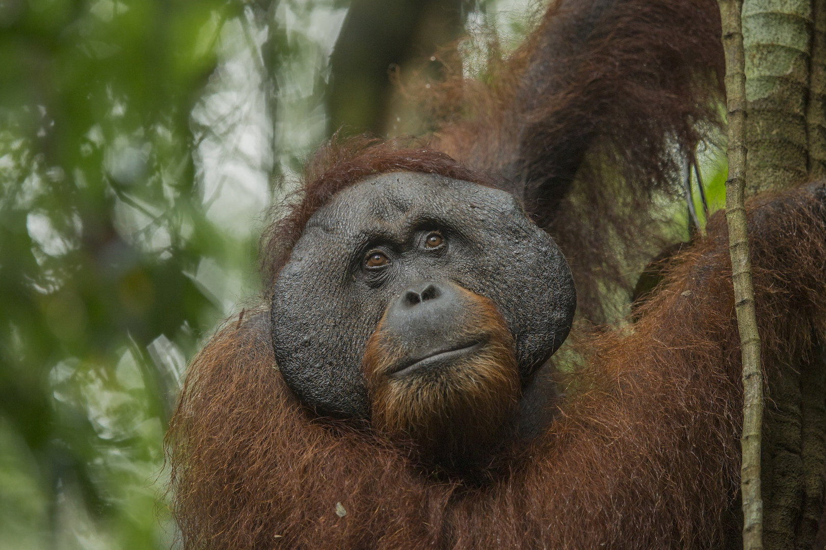 mature flanged male bornean orangutan