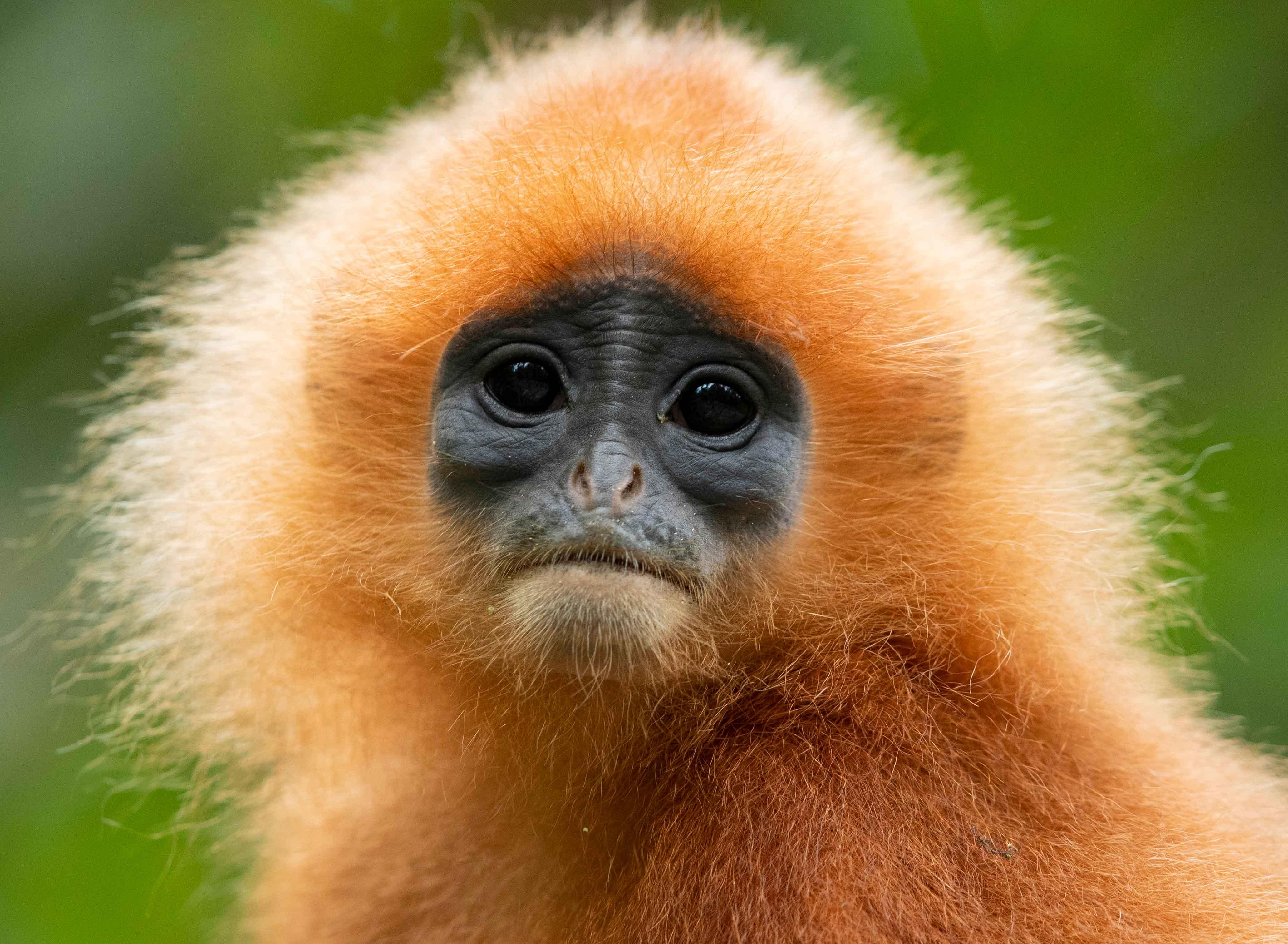 red leaf monkey portrait