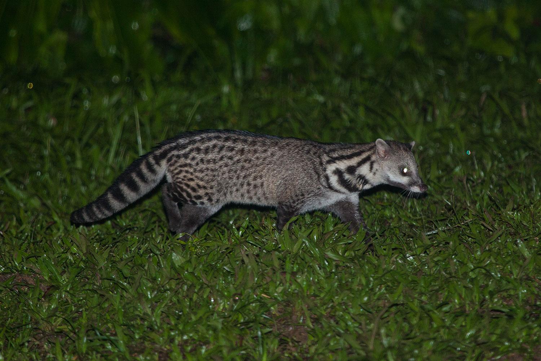 5 Under-rated Wildlife Encounters in Danum Valley Malayan Civet