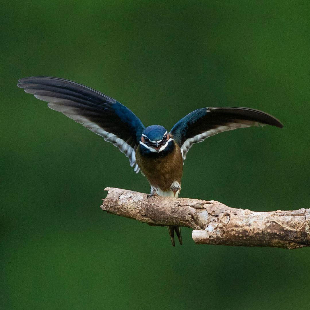 5 Under-rated Wildlife Encounters in Danum Valley Whiskered Treeswift