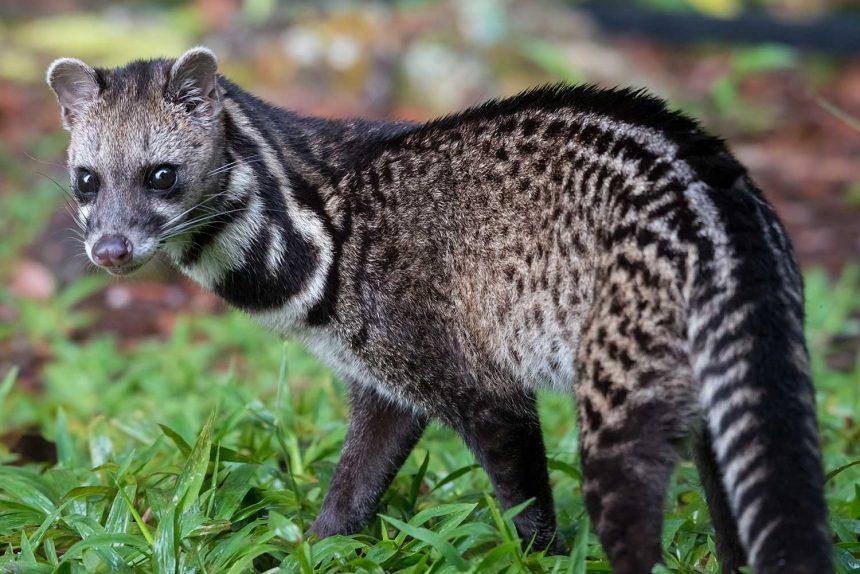 Magnificent Maliau Malayan Civet
