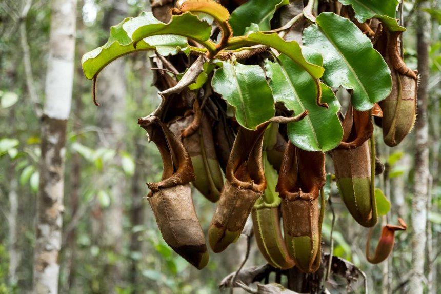 Magnificent Maliau Pitcher Plant